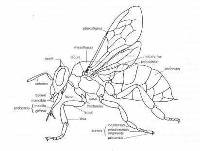 corpul albinei